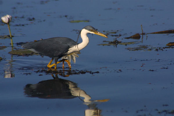 Pied Heron | Ardea picata photo