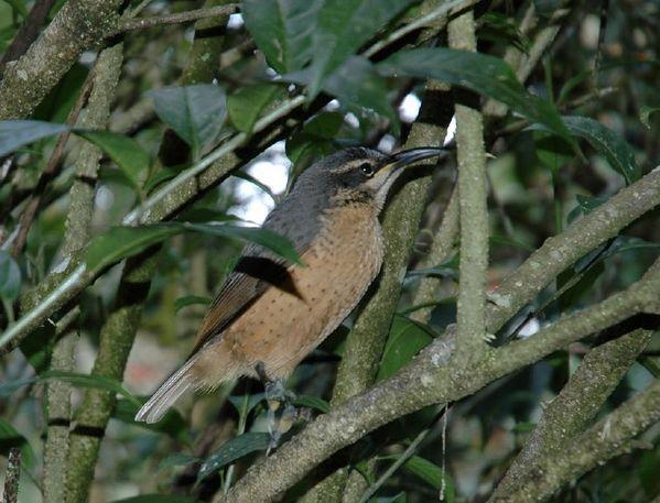 http://www.ozanimals.com/image/albums/australia/Bird/normal_Z-algaedoc-vicriflebirdf.jpg