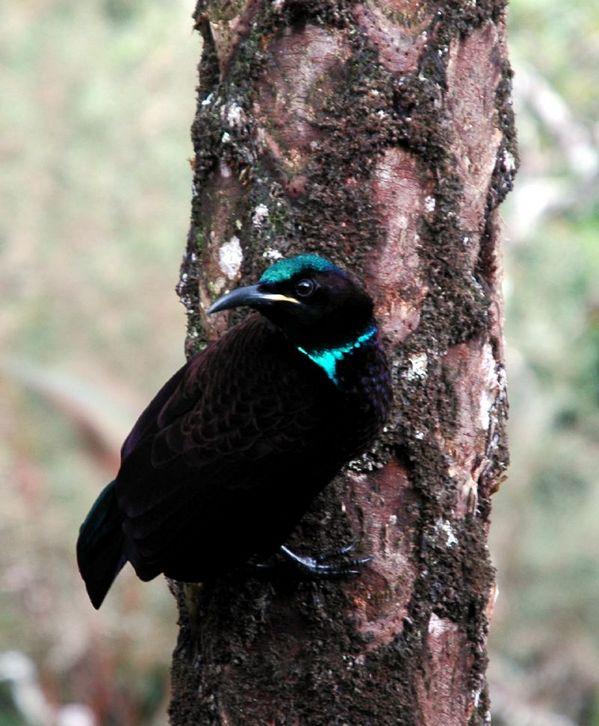 http://www.ozanimals.com/image/albums/australia/Bird/normal_Z-algaedoc-vicriflebirdm1.jpg