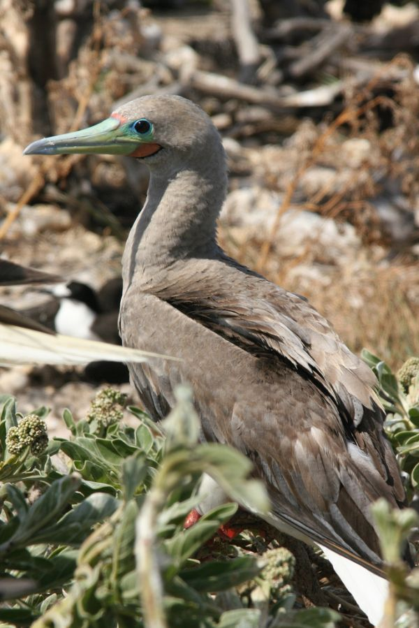 Red-footed Booby | Sula sula photo