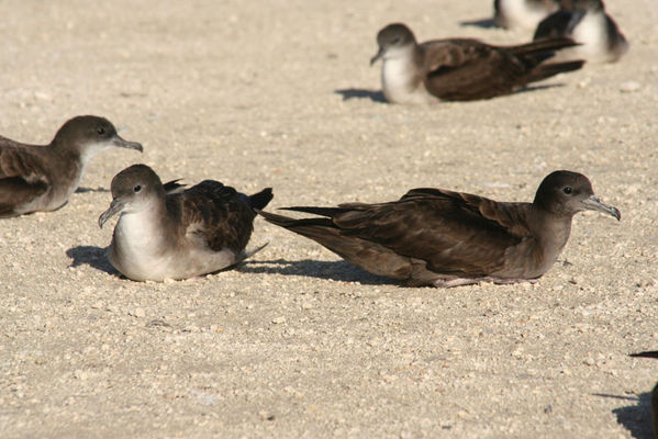Wedge-tailed Shearwater | Puffinus pacificus photo