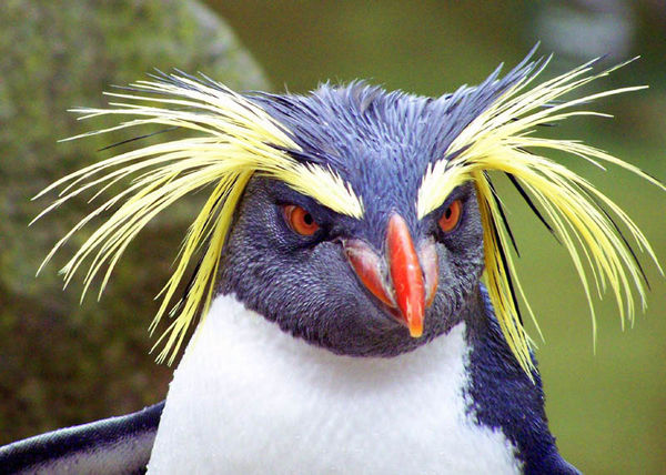 Rockhopper Penguin | Eudyptes chrysocome photo
