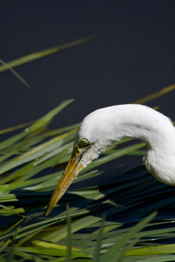 Intermediate Egret | Egretta intermedia photo