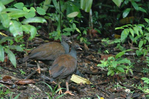 Orange-footed Scrub Fowl | Megapodius reinwardt photo
