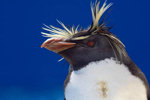 Rockhopper Penguin | Eudyptes chrysocome photo