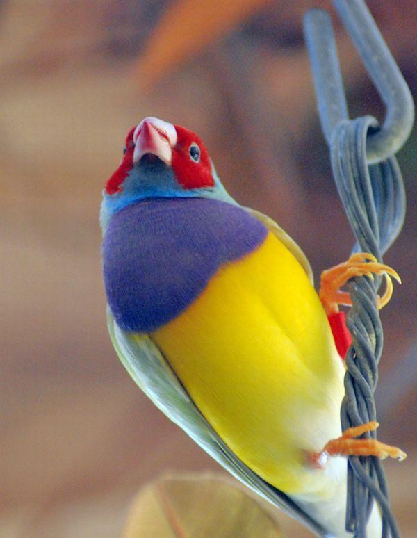 Gouldian Finch   Erythrura gouldiae photo