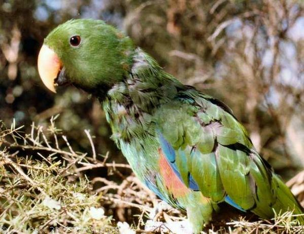 Eclectus Parrot | Eclectus roratus photo