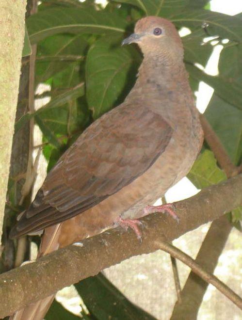 Brown Cuckoo-Dove | Macropygia amboinensis photo
