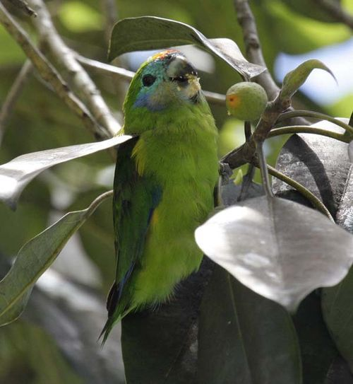 Double-eyed Fig Parrot | Cyclopsitta diophthalma photo
