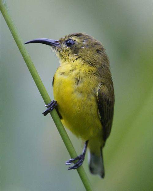 Birds Sunbird: Yellow-breasted Sunbird (Nectarinia Jugularis