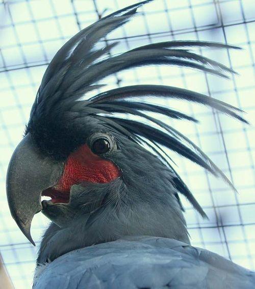 Palm Cockatoo   Probosciger aterrimus photo