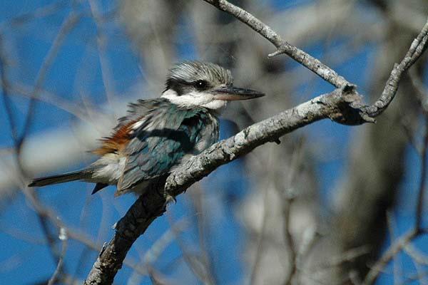 Red-backed Kingfisher | Todiramphus pyrrhopygia photo