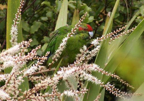 Red-crowned Parakeet | Cyanoramphus novaezelandiae photo
