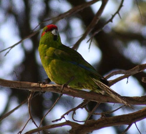 Red-crowned Parakeet | Cyanoramphus novaezelandiae photo