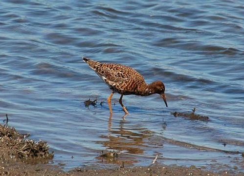 Ruff | Philomachus pugnax photo