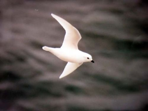 Snow Petrel | Pagodroma nivea photo