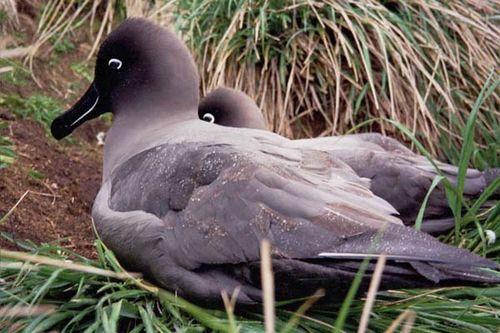 Sooty Albatross | Phoebetria fusca photo