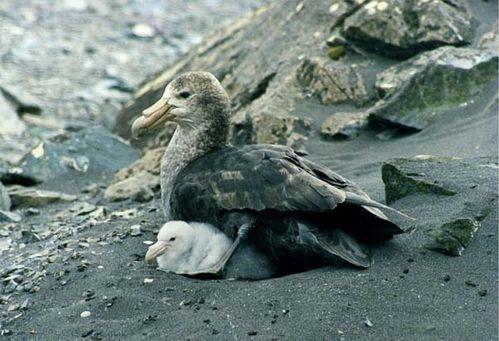 Southern Giant-Petrel | Macronectes giganteus photo