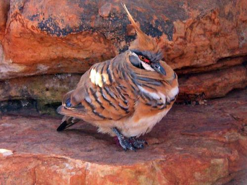 Spinifex Pigeon | Geophaps plumifera photo
