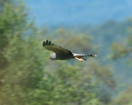Spotted Harrier | Circus assimilis photo