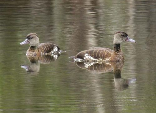 Spotted Whistling-Duck | Dendrocygna guttata photo