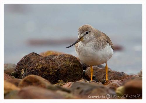 Terek Sandpiper | Xenus cinereus photo