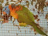 Red-collared Lorikeet