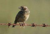Horsfields Bushlark