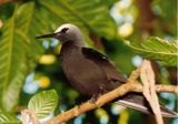 White-capped Noddy