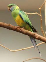 Cloncurry Parrot