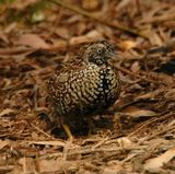 Black-breasted Button-quail