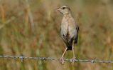Brown Songlark