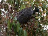 Long-billed Black-Cockatoo