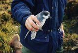 Blue Petrel