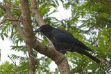 Torresian Crow