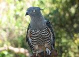 Crested Hawk