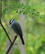 Java Sparrow