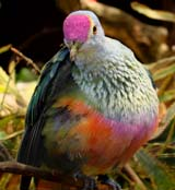 Rose-crowned Pigeon