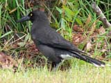 Black-winged Currawong