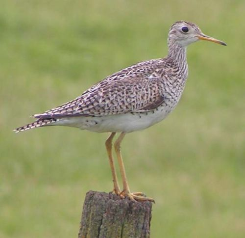 Upland Sandpiper | Bartramia longicauda photo