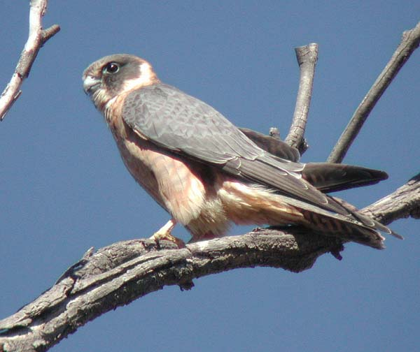 Australian Hobby | Falco longipennis photo