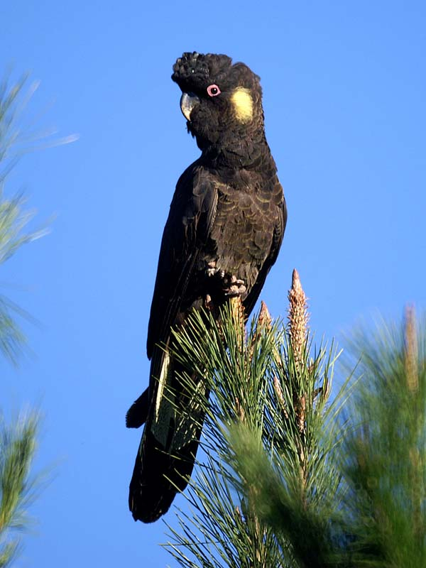 Yellow-tailed Black Cockatoo | Calyptorhynchus funereus photo