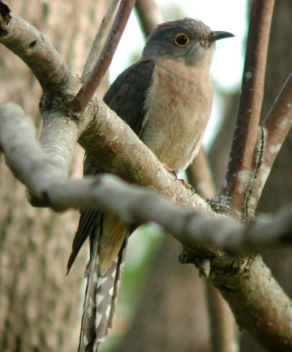 Fan-tailed Cuckoo | Cuculus pyrrhophanus photo