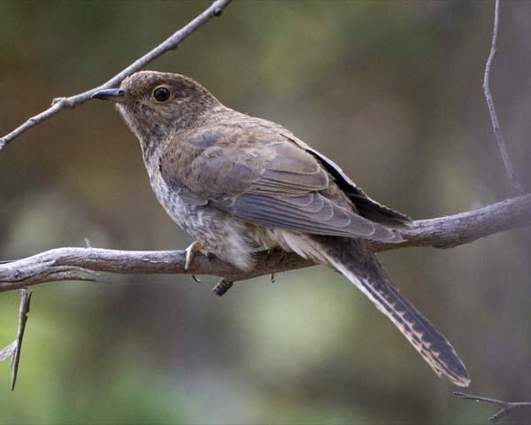 Fan-tailed Cuckoo   Cuculus pyrrhophanus photo