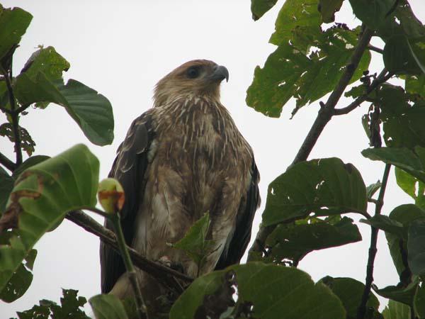 Whistling Kite | Haliastur sphenurus photo