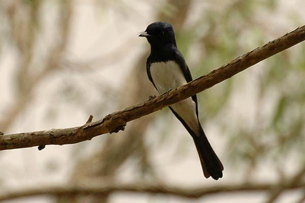 Satin Flycatcher | Myiagra cyanoleuca photo