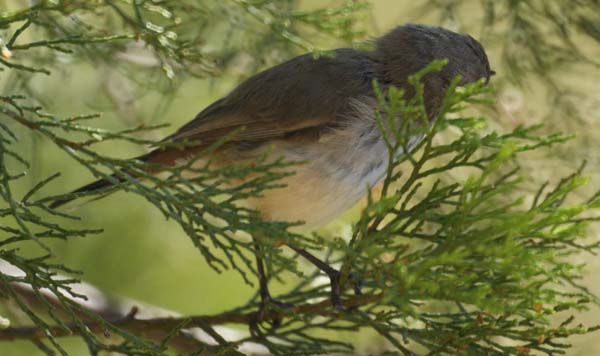 Inland Thornbill | Acanthiza apicalis photo