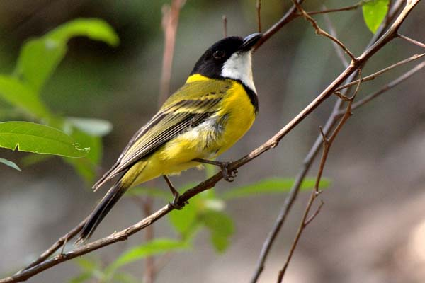 Golden Whistler | Pachycephala pectoralis photo