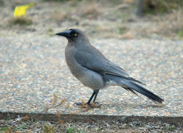 Grey Currawong | Strepera versicolor versicolor photo