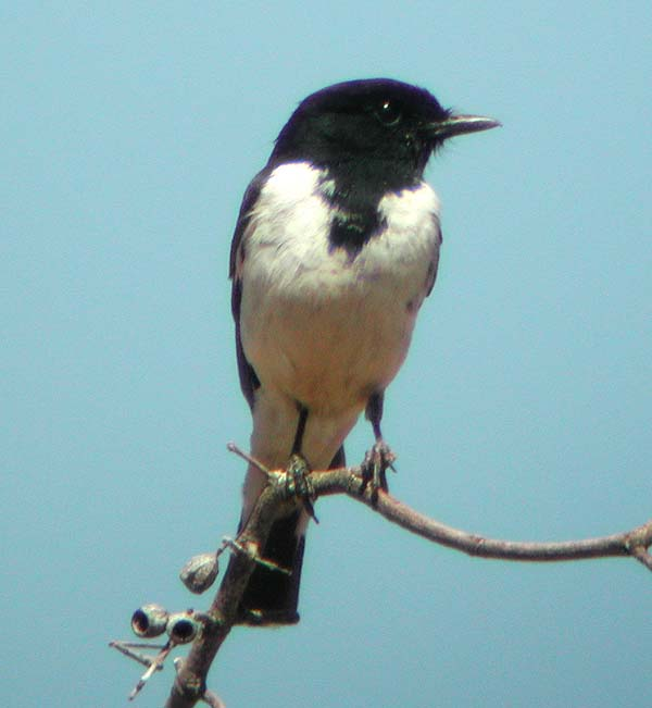 Hooded Robin | Melanodryas cucullata photo